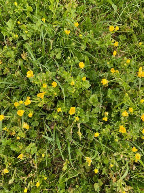 boterbloemen in kruidenrijk grasland - John van Winden IMG-20200513-WA0002